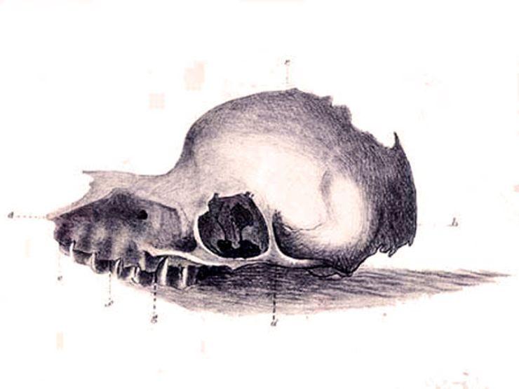 Bunyip_skull