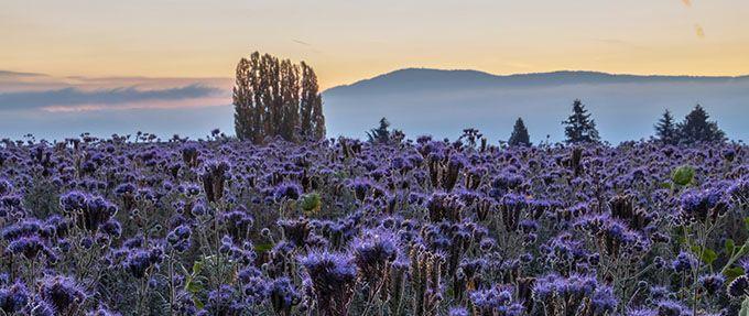 landscape shot with purple flowers